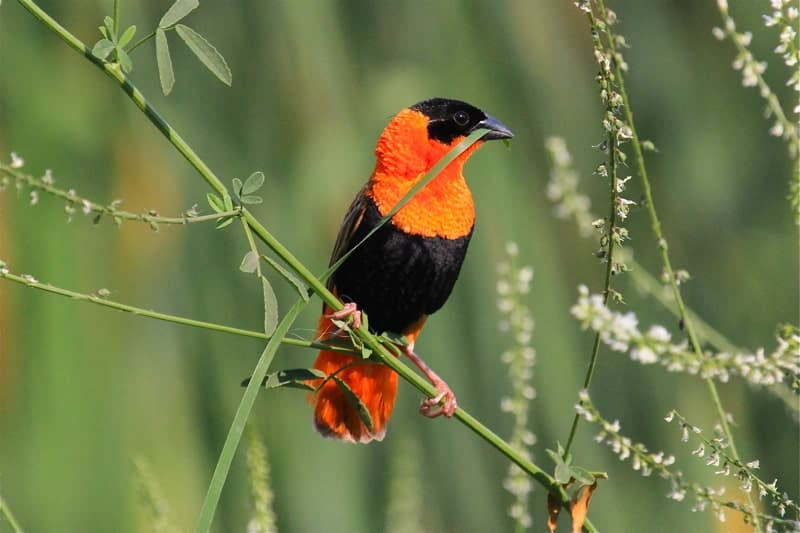 The Gorgeous Orange Bishop