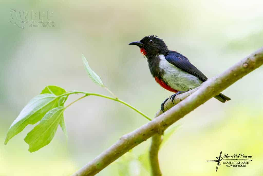 Scarlet-collared Flowerpecker of Mindoro