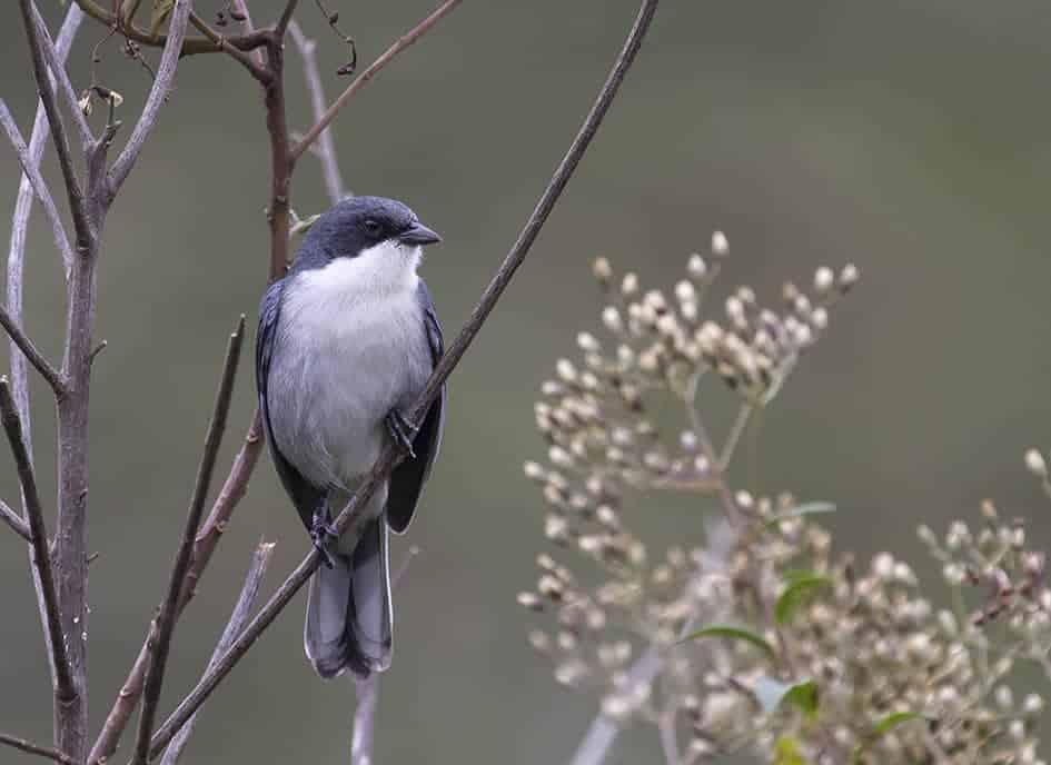Cinereous Warbling-Finch (Poospiza cinerea) (VU)