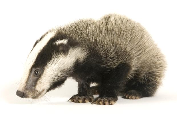 POLL: Should the trial cull of badgers go ahead?