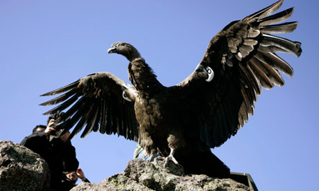 """Condors found """"poisoned"""" in Chile"""