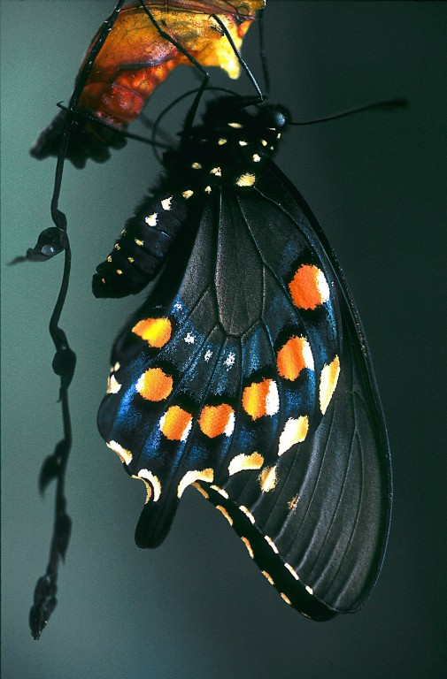 Emergent Pipevine Swallowtail by Glenn Perrigo