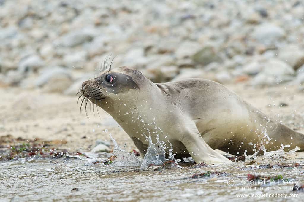 Young female elephant seal enters the surf