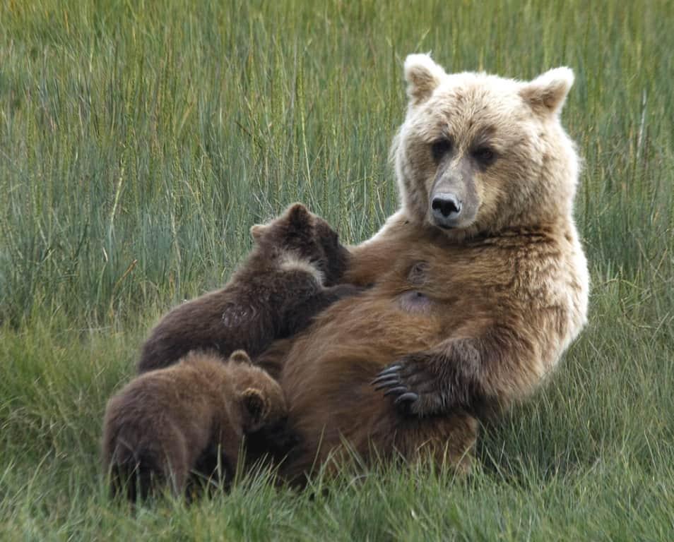 Nursing Cubs by Lori Huff
