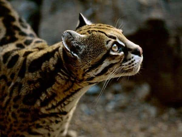 Adventures of a Nature Photographer: The Ocelot