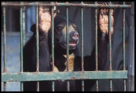 POLL: Should Sun Bears be used for Chinese medicine?