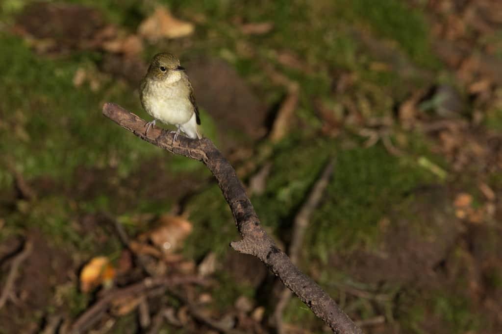 Narcissus Flycatcher (female)