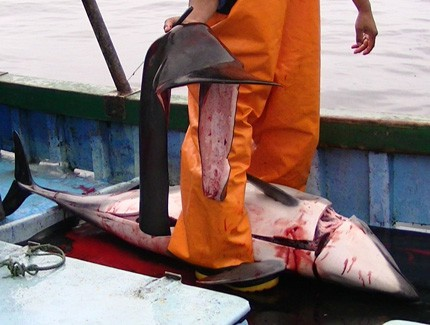 POLL: Should fishermen in Peru be allowed to continue slaughtering dolphins? Shocking Video!