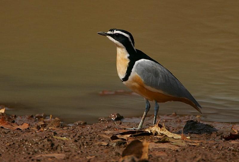 Birding the Gambia