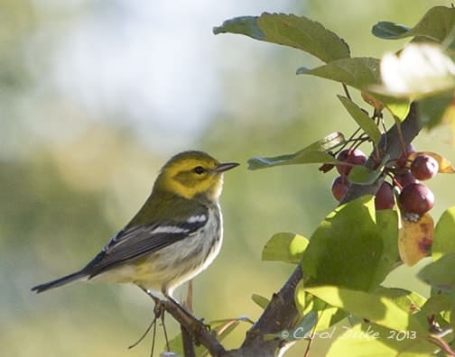 A Bestiary: Songbirds ~ Black-throated Green Warbler