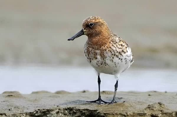 Hand-reared spoon-billed sandpiper spotted after flying quarter-way round the world
