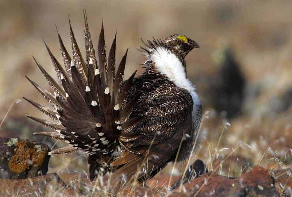 POLL: Should protections on the Greater Sage Grouse be removed?