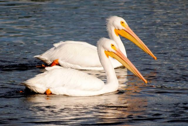 """White Pelicans in Placida, Florida.  The """"Snowbirds"""" return."""
