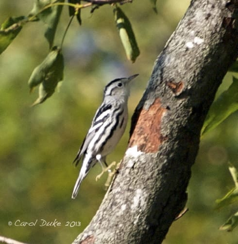 A Bestiary: Songbirds ~ Black-and-white Warbler