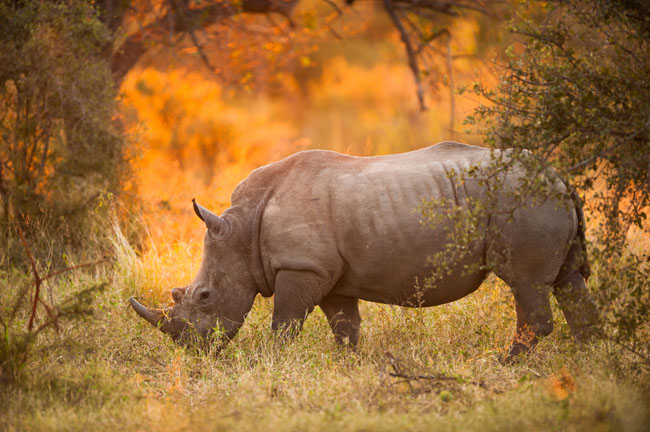 The dying specie of the black rhinoceros