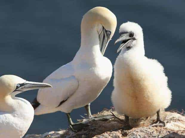 POLL: Should gannet chick-eating championships be banned?