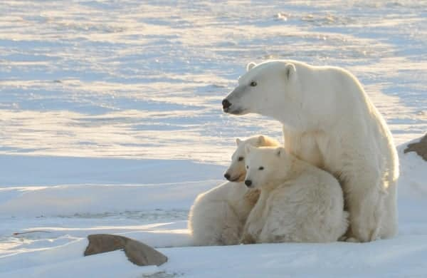 Polar bear numbers in Hudson Bay of Canada on verge of collapse