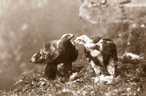 Nostalgic look back in time at Scotland's first pioneering golden eagle photographer.