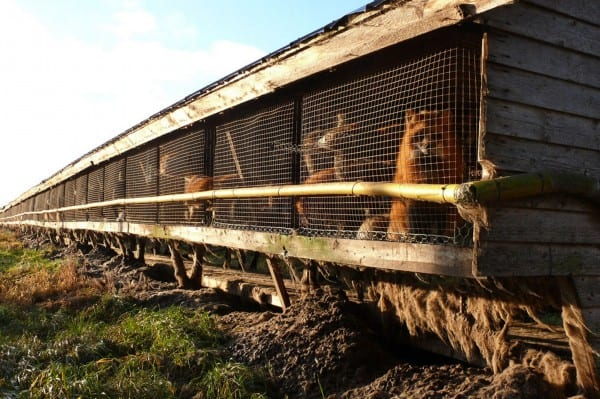 POLL: Should fur farming in Finland be banned?