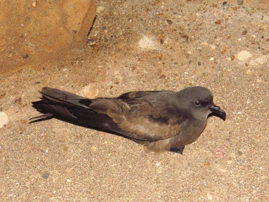 Storm-petrel breeding in the Atacama desert