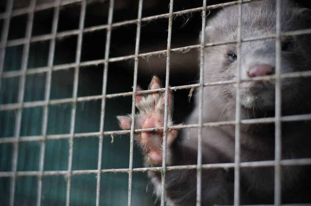 POLL: Should fur farms be banned in Ireland?