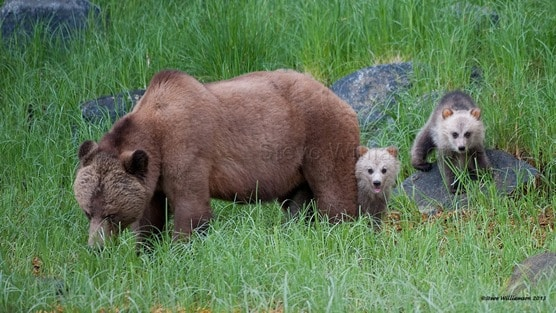 POLL: Should the trophy hunting of grizzly bears be banned?