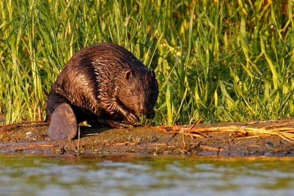 New Study Provides Insights into Genetic History of European Beaver