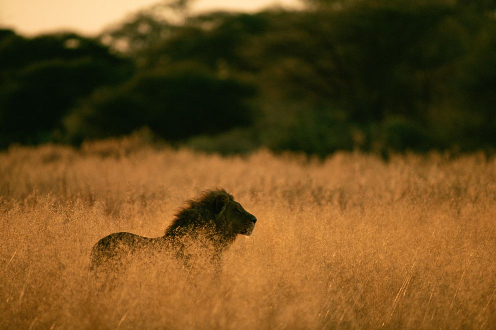 Lions Approach Extinction in West Africa