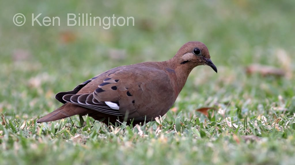 zenaida dove - photo #25
