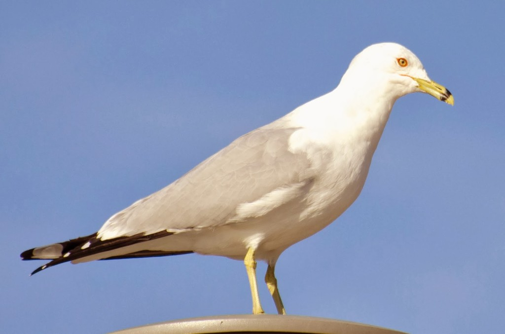 Gull With Red Neck Ring