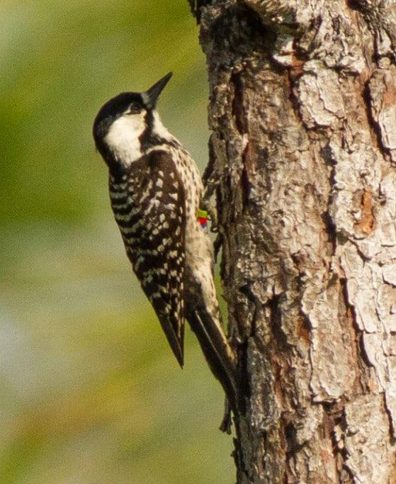Baby woodpecker identification