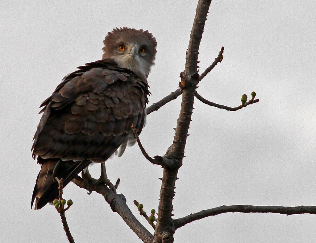 Beaudouins snake eagle - photo#3