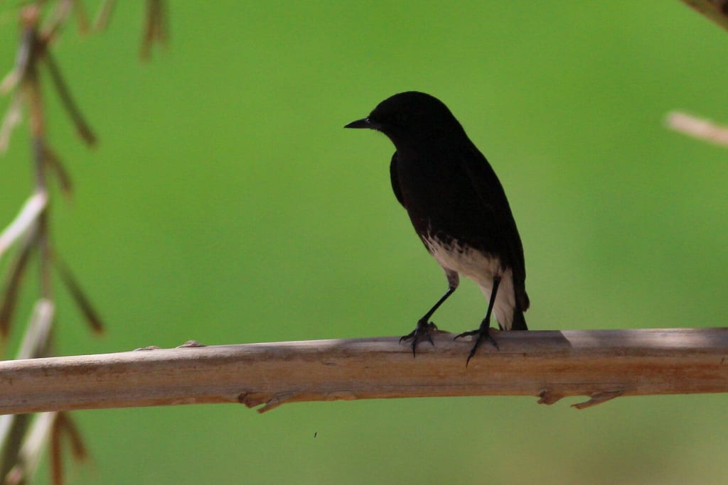 Pied Bushchat in migration close to Eilat, Israel