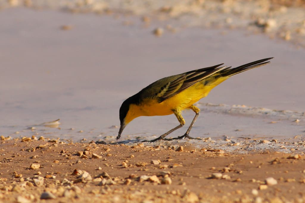 Yellow Wagtail in migration close to Eilat, Israel