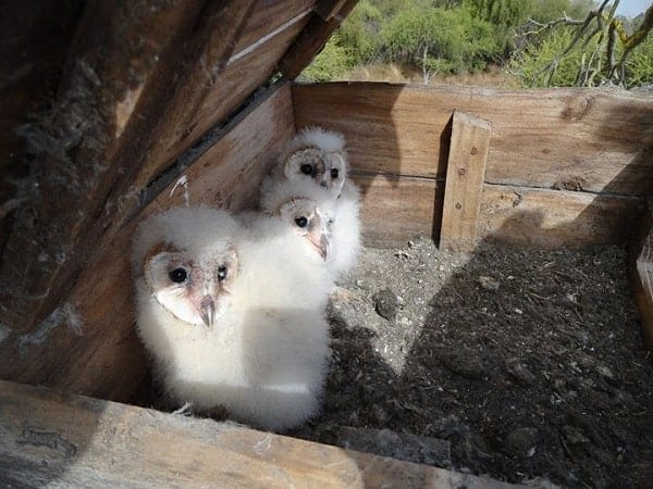 Chile: Owls drafted in to fight deadly hantavirus