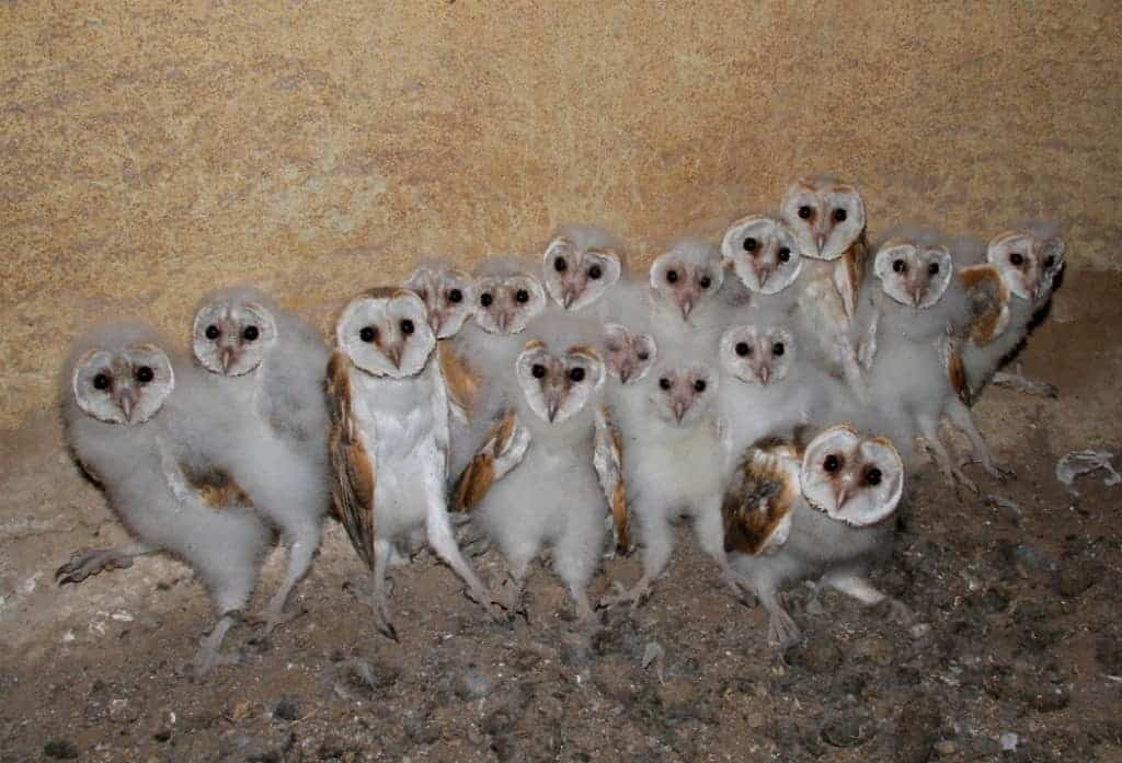 Israel leads the way using Barn Owls and Kestrels to replace Rodenticides