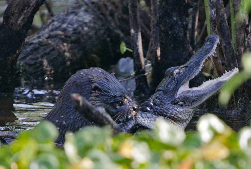 How a River Otter Can Bag an Alligator for Lunch