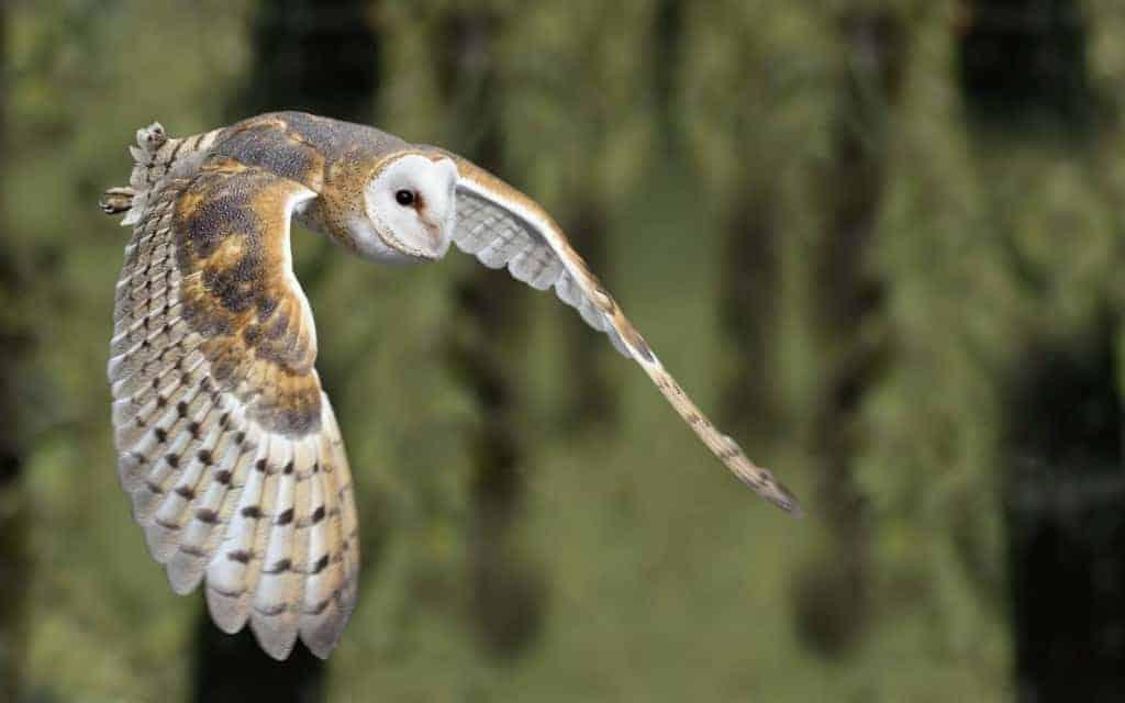 Barn owls 'threatened' by new legislation