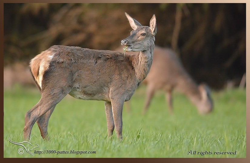 Plea for the Pyrenean stags