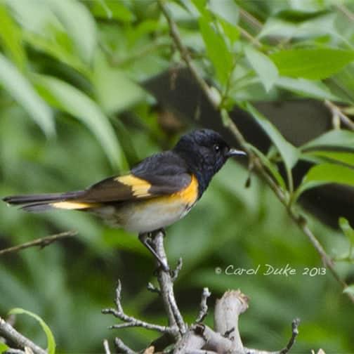 A Bestiary : Songbirds ~ American Redstart