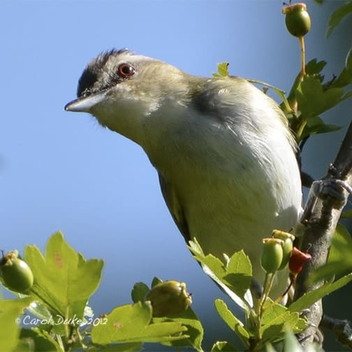 A Bestiary : Songbirds ~ Vireos ~ Red-eyed Vireo