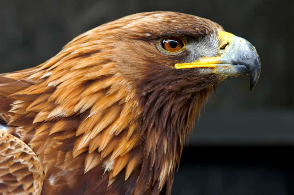 Golden Eagle Genome Sequenced