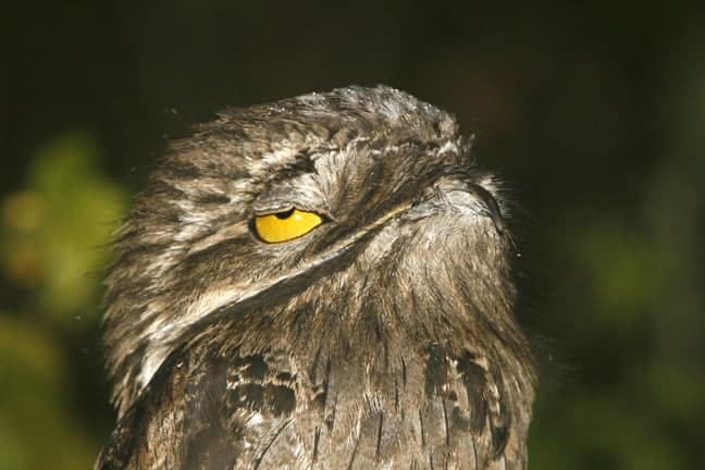 Potoo (the Mother of the Moon)