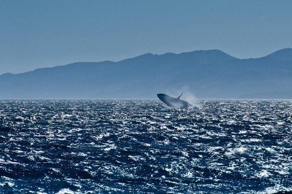 Video: Massive Fin Whale Delights Onlookers with Rare Breach
