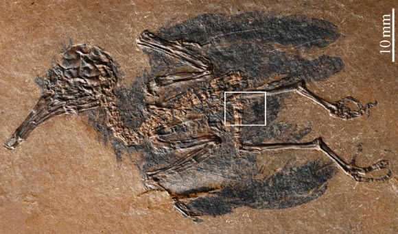 Oldest Known Fossil of Nectarivorous Bird Discovered