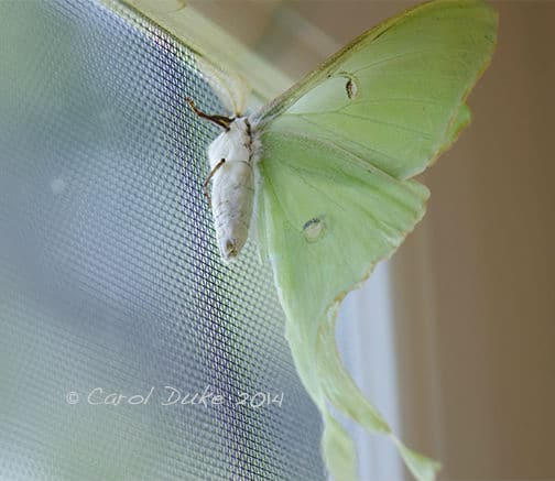 Night Beauties, Luna Moth, Actias luna