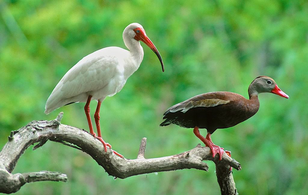 ibis and whistling duck 3000 0