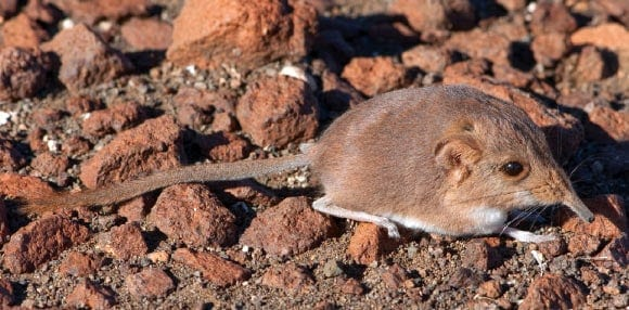 Etendeka Round-Eared Sengi: New Mammal Species Discovered in Namibia