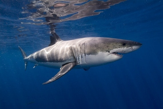Poll Update: Great White Sharks Win as the Fan Favorite (Photos)