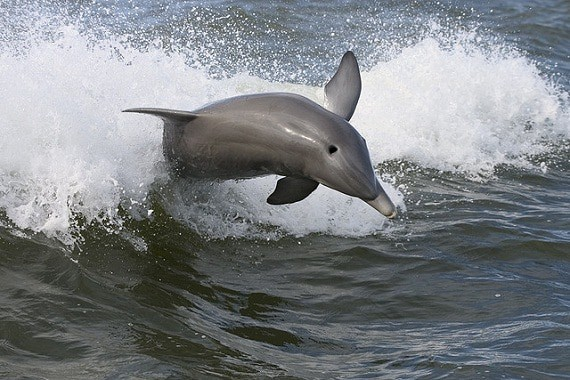 Gulf Dolphins Are Still Sick After the Deepwater Horizon Oil Spill